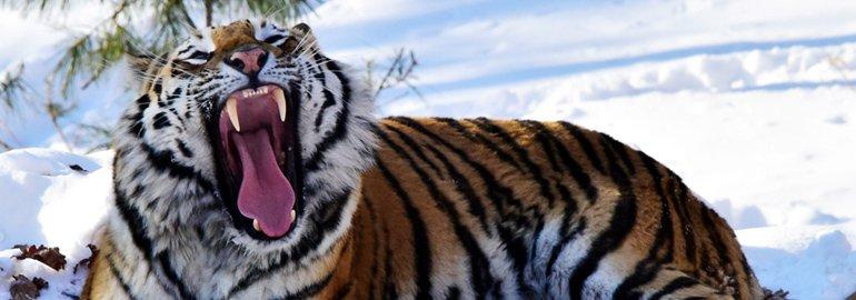 Το έτος της Τίγρης